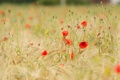 Картинка лето, цветы, маки, луг, колосья