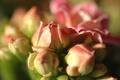 Картинка бутоны, растение, цветение, сответия, лепестки, макро