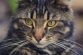 Картинка кот, фон, глаза, усы