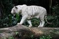 Картинка белый, тигр, хищник, бенгальский