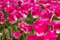 Картинка бутоны, тюльпаны, розовые