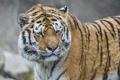 Картинка амурский тигр, морда, ©Tambako The Jaguar, тигр, взгляд, кошка
