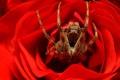 Картинка роза, паук, лепестки