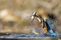 Картинка вода, брызги, озеро, птица, рыба, добыча