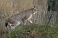 Картинка кошка, трава, брызги, природа, холм, профиль, рысь