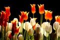 Картинка тюльпаны, блеск, блик, стебель, фон, лепестки
