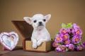 Картинка коробка, щенок, рамка, милый, чихуахуа, цветы