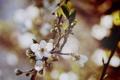 Картинка макро, свет, цветы, ветки, вишня, дерево, ветви