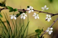 Картинка цветок, макро, вишня, ветка, сакура
