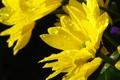 Картинка капли, солнце, хризантемы, желтые, вода, макро, цветы