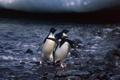 Картинка камни, вода, пингвины