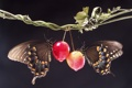 Картинка листья, бабочки, яблоко, ветка, черный фон, ранет ка