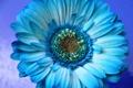 Картинка цветок, природа, лепестки, гербера