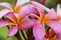 Картинка цветок, вода, капли, природа, роса, лепестки, плюмерия