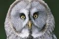 Картинка глаза, птицы, сова