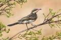 Картинка природа, птица, ветка, иглощёкий медосос