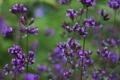 Картинка травушка, Violet Breeze, цветочьки, фиолетбриз