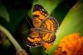Картинка макро, оранжевый, бабочка, крылья