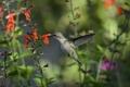 Картинка птица, зелень, колибри, макро, цветы