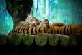 Картинка дерево, отдых, тигры