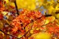 Картинка листья, осень, крона, клен, желтые, дерево