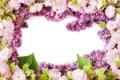 Картинка фото, Цветы, Сирень, Цветущие деревья