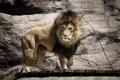 Картинка хищник, лев, грива, дикая кошка, зоопарк
