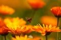 Картинка пчела, полет, цветы