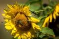 Картинка пчела, подсолнух, очки