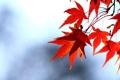 Картинка осень, небо, листья, ветка, красные, клен