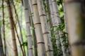 Картинка стволы, роща, полосы, деревья, бамбук, фокус