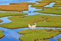 Картинка зелень, трава, вода, острова, овцы, гуси