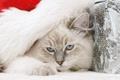 Картинка кошка, голубые глаза, дремлет