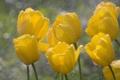 Картинка капли, макро, цветы, желтый, дождь, весна, тюльпаны