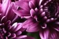 Картинка макро, цветы, бутоны, серединки
