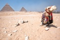 Картинка верблюд, пирамиды, египет