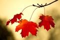 Картинка осень, ветка, листва, макро
