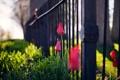 Картинка цветы, город, забор, тюльпаны