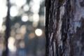 Картинка солнце, макро, закат, дерево, кора, сосна, бокэ