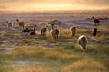 Картинка небо, трава, закат, пустыня, лама, чили, атакама
