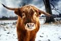 Картинка зима, поле, бык