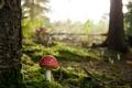 Картинка лес, деревья, гриб, мох, мухомор
