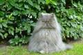 Картинка кот, пушистый, перс, кусты, персидский кот, важный