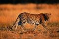 Картинка природа, Леопард, хищник, окрас
