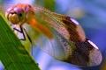 Картинка стрекоза, насекомое, крылья, глаза, лист, голова