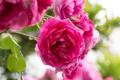 Картинка макро, роза, розы, лепестки