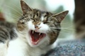Картинка кошка, макро, крик