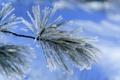 Картинка зима, иней, снег, синий, ветка, хвоя, лапка