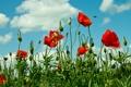 Картинка поле, лето, пчела, маки, красные