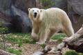 Картинка хищник, белый медведь, зоопарк, полярный медведь